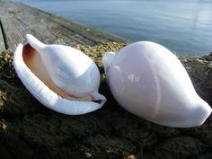 Egg Cowrie Shells