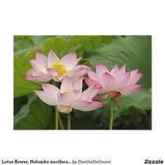 Lotus flower, Nelumbo nucifera, China 2
