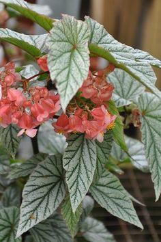 Begonia 'Don Miller' -Steve's Leaves