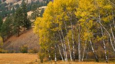 Aspen Tree Wallpapers HD | wallpaper.wiki