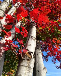 Leaves of change. #PurdyThirty #Birthday #October #October13 #Libra #minnesota #mn #exploremn #LakeMinnetonka #fall #autumn #leaves #falltime #season #seasons #instafall #instagood #instaautumn #photooftheday #leaf #foliage #colorful #orange #red #autumnweather #fallweather #nature #iphone6s