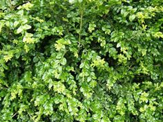 How to Propagate Boxwoods from Cuttings on http://www.hortmag.com