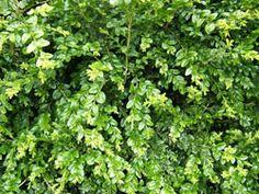 boxwood leaves