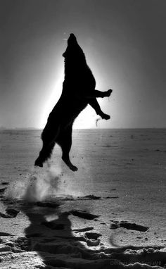 Jumping Wolf