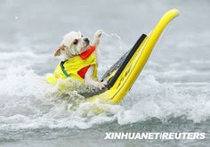 """A six-year old Pomeranian named Bobby Gorgeous hangs on to the surfboard as he competes in his heat at the annual Helen Woodward Animal Center """"Surf Dog Surf-A-Thon"""" at dog beach in Del Mar, California. Funny Animal Pictures, Dog Pictures, Funny Animals, Cute Animals, Animal Fun, Animal Pics, Funny Photos, I Love Dogs, Cute Dogs"""