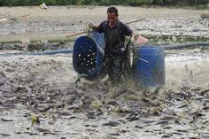 Water pollution in China. How much simpler it would be to clean up BEFORE you start a food-fish farming venture. A worker collects catfish for disposal in a polluted pond in Haikou, Hainan province, September 10, 2013. Local government acted to kill all catfish at the fishpond after the water inside the pond was tested below standards, according to local media. (REUTERS/Stringer)