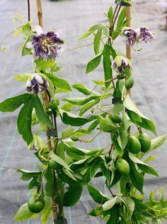 zitronenbaum pflege so z chten sie richtig einen zitronenbaum zitronenbaum z chten und. Black Bedroom Furniture Sets. Home Design Ideas