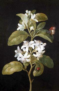 Pear Flower. Barbara Regina Dietzsch - Date unknown (German, 1706 - 1783) | by Swallowtail Garden Seeds