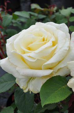 ~Rosa 'Elina' AKA 'Peaudouce' (U.K., 1984)
