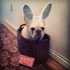 The rarely seen French Bulldog Bunny! I don't think Walter is pleased : (