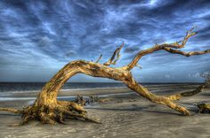 Wind Bent Driftwood on Jekyll Island, Georgia's Driftwood Beach. Black & WhiteLocated along the north end of this Georgia brrier island, Driftwood Beach shows the effects of erosion as the live oaks and pines are being consumed by the sea.