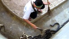 Watch this amazing video clip of a Thai guy cleaning the snake poop at a Cobra pit in Thailand. It's probably one of the scariest jobs on the planet...