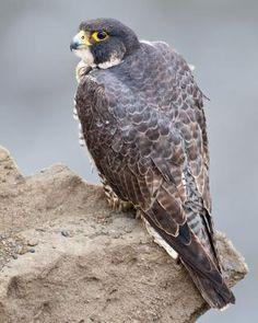 Stoddart stevenson falcon background desktop free for Fish hawk atlanta