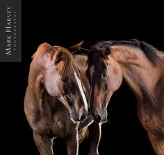 Touch by Mark Harvey  Horse Photography, Togetherness, Relationship, Interaction, Closeness.