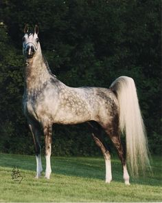 Horse with an amazing proud stance and tail held up. A little bit of rose grey.
