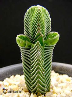 Look at this crazy plant!   Crassula pyramidalis 大型緑塔