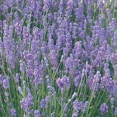 Amazon.com : Hidcote Blue Lavender Herb - 8 Perennial Plants ...