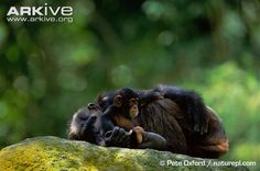 Chimpanzee with infant lying on rock