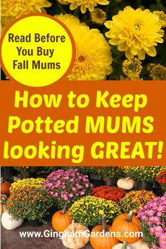 Fall Potted Plants, Potted Mums, Summer Plants, Garden Plants, House Plants, Fall Flower Pots, Fall Flowers, Garden Mum, Autumn Garden Pots