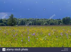 Download this stock image: Siberian Iris, Siberian flag (Iris sibirica), blooming in a meadow, Germany, Bavaria, Chiemgau - EBRMNB from Alamy's library of millions of high resolution stock photos, illustrations and vectors.