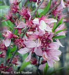 78 best spring shrubs bushes images on pinterest flowering dwarf russian almond prunus tenella striking early spring rose red flowers cold hardy shrub with mightylinksfo