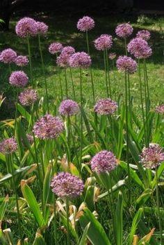 1000 Images About Allium On Pinterest Allium Flowers