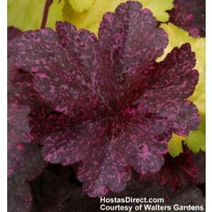 Sparkles In The Dark Coral Bells Midnight Rose, Heuchera 'Midnight Rose', has burnished black leaves that are speckled with hot pink in the spring. As the season progress, the spots turn cream and green and the foliage becomes lighter. Coral Bells Plant, Coral Bells Heuchera, Shade Perennials, Shade Plants, Shade Garden, Garden Plants, Leaf Coloring, Foliage Plants, Colorful Flowers