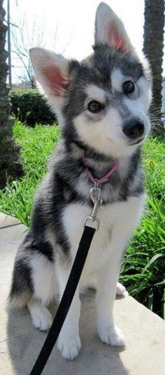 Alaskan Klee Kai (Miniture Alaskan Huskey)! I will have one someday!