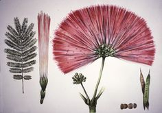 Visions of Science Series by Mary Louise McLean Bodenheimer, via Behance - Modern Botanical Wedding, Botanical Illustration, Botanical Prints, Wild Edibles, All Nature, Blush Roses, Love Art, Artsy, Bloom