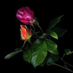 Фотография RAINDROPS ON ROSES... автор Magda Indigo на 500px