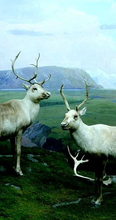 Reindeer from the North American Mammal Hall at the Los Angeles Natural History Museum. #diorama #naturalhistorymuseum