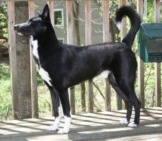 Black-and-White-Canaan-Dog.jpg (600×524)