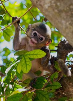 """mistymorningme: """"  very young dusky langur by Troup1 """""""