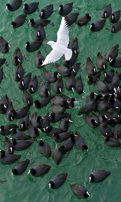 White seabird, black seabirds, green ocean