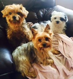 ~ Daily Dose of Cuteness ~  Watching every move I make; waiting patiently for their walk. (Shared by Jennifer Chambers) #DogoftheDay http://aboutmorkies.com/ Follow us: Facebook.com/YorkiesMorkiesMaltese Twitter.com/morkienation #dog #doglovers #animals #pets #yorkies #yorkie #yorkielovers #petlovers #dogowners #puppy #adorablepets #sillydogs #smallanimals #instadogs #instayorkie #instapuppy #instaanimals #petsofinstagram #dogsofinstagram #yorkieofinstagram #puppylove #animallovers…