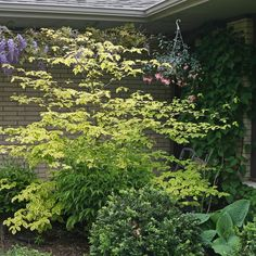 Proven Winners - Golden Shadows® - Pagoda Dogwood - Cornus alternifolia green white yellow plant details, information and resources. Pagoda Dogwood, Dogwood Trees, Landscaping Retaining Walls, Home Landscaping, Deciduous Trees, Trees And Shrubs, Yellow Plants, Garden Planter Boxes, Proven Winners