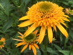 Echinacea 'Secret Glow' (Secret Series) (coneflower)