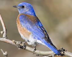Western BluebirdSialia mexicana