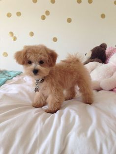 Image via Maltipoo ( Maltese and Miniature/Toy Poodle mix); Top 5 Most Cute Dog Breeds Image via Interesting facts about Maltipoos via Animals Zone Image via Top 5 Longe Maltese Poodle Puppies, Maltipoo Dog, Havanese Puppies, Poodle Mix, Cute Puppies, Dogs And Puppies, Cute Dogs, Doggies, Maltipoo Haircuts