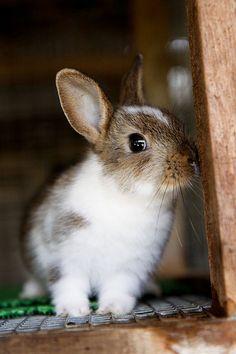El conejo
