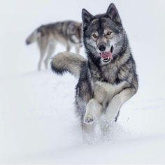 Wolves Photography by Wolf Spirit, Spirit Animal, Beautiful Wolves, Animals Beautiful, Wolf Pictures, Animal Pictures, Regard Animal, Animals And Pets, Cute Animals