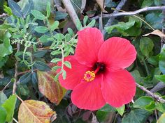 Maale Adumim, Israel - Gardens, 06 neighborhood (צמח השדה), hibiscus (היביסקוס)
