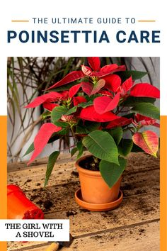 Poinsettias can actually be kept alive throughout the year! Simply follow these care tips to keep it alive throughout the holidays, and then some! Poinsettia Plant Care! Cool Plants, Air Plants, Indoor Plants, House Plants Decor, Plant Decor, Poinsettia Plant, All About Plants, Bedroom Plants