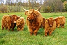 Miniature Scottish Highland cattle only grow to 35 inches. Add these to my hobby farm list - they apparently have great temperaments and make good pets!