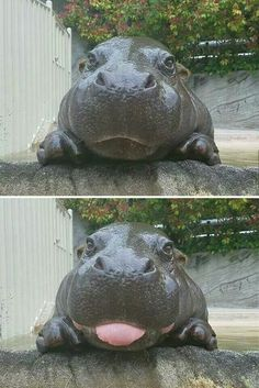 hippo  tongue out