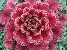 Heat Up Your Garden With Colorful Kale: Ornamental kale makes cool-season gardens more colorful.