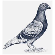 Tuffy McPuggles Womens Pigeon Vintage Indy Style Old Bird Drawing Portlandia Dolman T Shirt for Women
