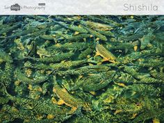 Everything Fishy #fish #shishila #temple #river #fishflood #gang #mobilephotography #deepstudio www.deep.studio