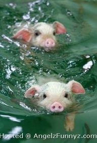 pigs are swimming