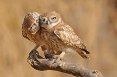 Beautiful Owls♡ Loving this photo. Simply Beautiful! ♡